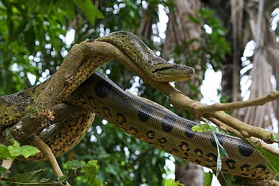 Zelena anakonda (foto: Flickr)