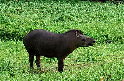 Tapir (foto: EOL)