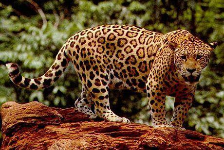 Jaguar (foto: EOL)