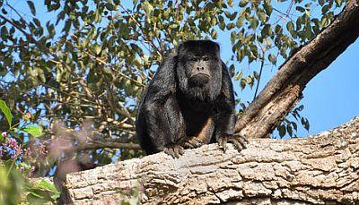 Majmun urlikavac (foto: EOL)
