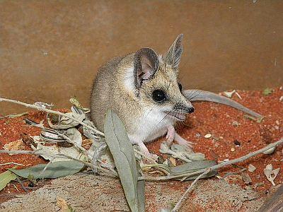 Debelorepi dunart (foto: Wikipedia)