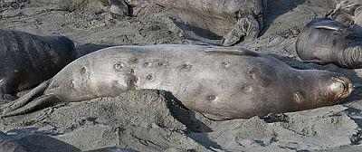 Ožiljci na koži tuljana (foto: Flickr)