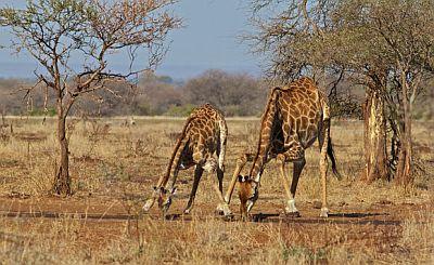Žirafe (foto: EOL)