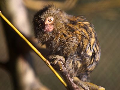 Patuljasti marmozet (foto: Zoo Zagreb)