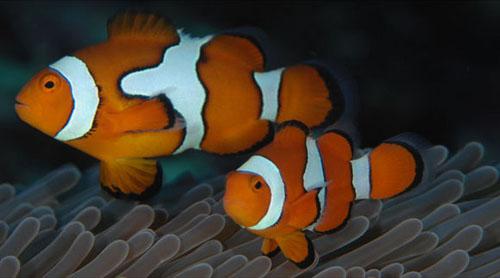 Riba klaun (foto: EOL)