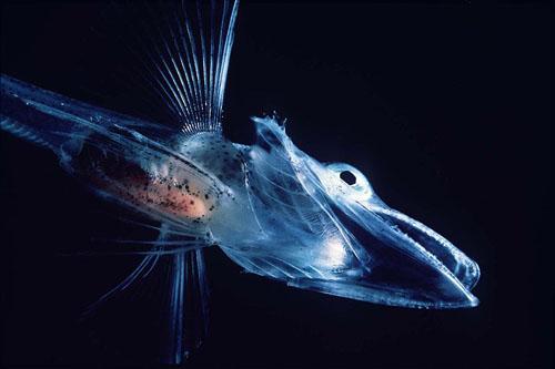 Antarktička ledena riba (foto: Wikipedia)