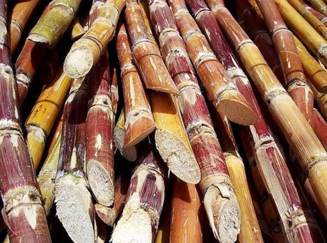 Šećerna trska spremna za obradu (foto: Wikimedia Commons)