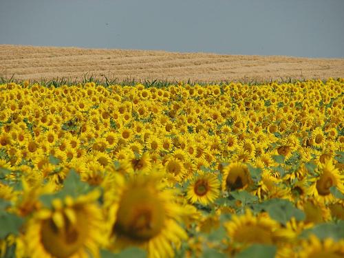 Od suncokreta se može dobiti biodizel (foto: Flickr)
