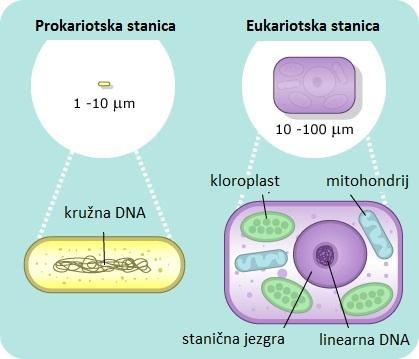 Usporedba prokariotske i eukariotske stanice