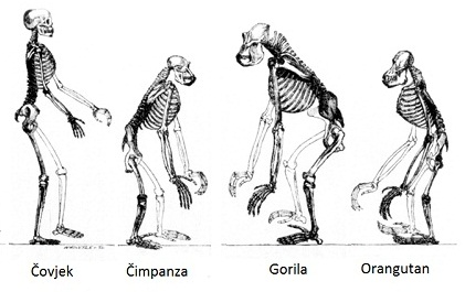 Usporedba kostura čovjeka i čovjekolikih majmuna (Izvor: Wikimedia Commons)