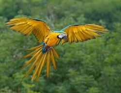 Papiga Ara (Izvor: Luc Viatour / Lucnix.be, Wikimedia Commons)