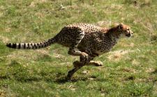 Gepard u trku (foto: Wikimedia Commons)