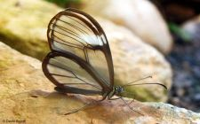 Leptir prozirnih krila (foto: EOL)