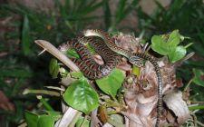 Leteća zmija (foto: EOL)