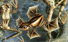 Crtež Wallaceove leteće žabe (foto: Wikimedia)