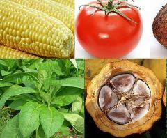 Uzgojene biljke (Izvor: Wikimedia Commons)