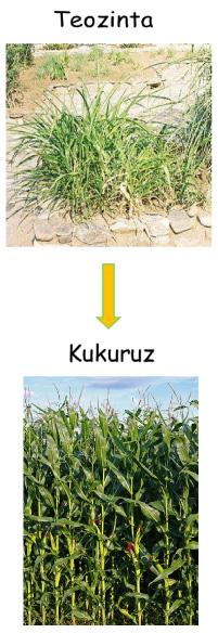 Evolucija kukuruza (Izvor: Wikimedia Commons)