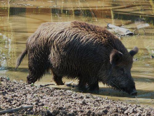 Divlja svinja (Izvor: Wikimedia Commons)