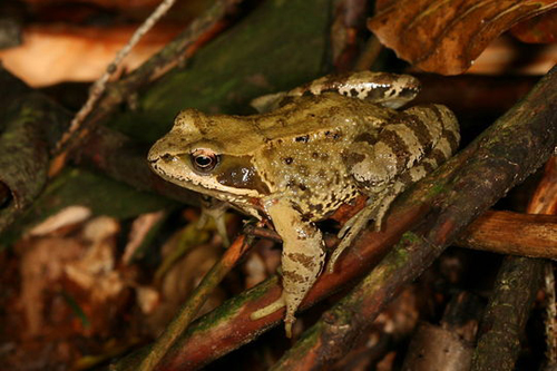 Livadna smeđa žaba (foto: EOL)