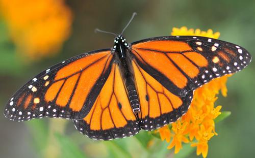 Leptir monarh (foto: EOL)