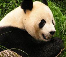 Veliki panda (Izvor: Wikimedia commons)