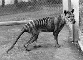 Tasmanijski vuk (foto: Wikimedia commons)