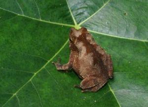 Otrovna žaba (foto: EOL)