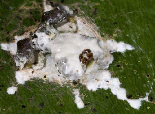 Celaenia excavata (Izvor:rainforest revelations)