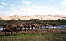 Dvogrbe deve u pustinji Gobi (foto: Wikimedia Commons)