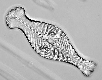 Alga kremenjašica (foto: EOL)