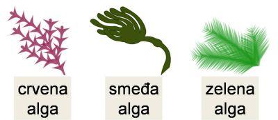 Podjela algi (foto: Wikimedia)