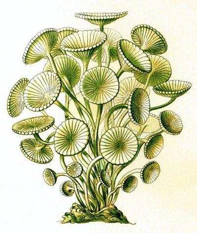Alga jadranski klobučić (foto: Wikimedia)